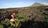 """Produção de vinho do Pico em 2021 foi """"catastrófica"""" devido ao mau tempo"""